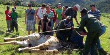 Volunteers with injured giraffe at Kariega Game reserve
