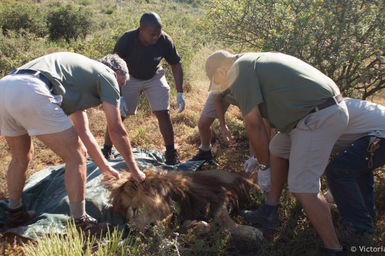 Volunteer with lion research and rehabilitation at Shamwari