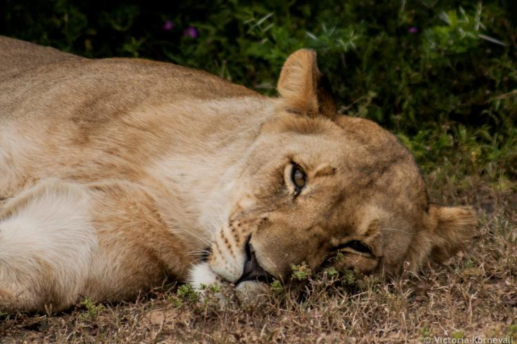 Lioness sleeping in midday heat