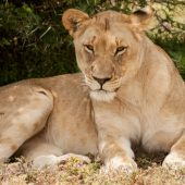 Shamwari Big Five Game Reserve Volunteer Programme, South Africa