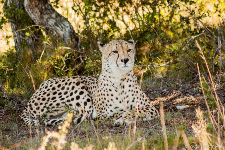 Male cheetah in the shade in South Africa