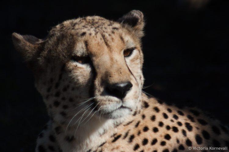 Volunteers researching cheetahs at Shamwari