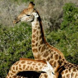 Male giraffes fighting and bashing necks together in South Africa