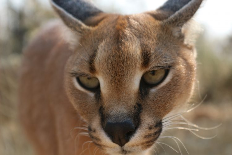 Big Cat conservation in Namibia