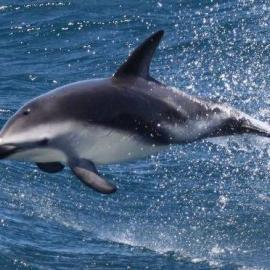 Dolphin jumping in Namibia