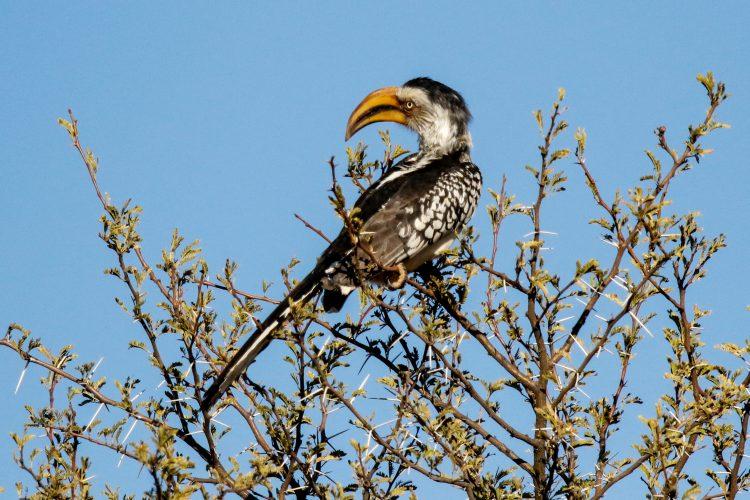 Africa hornbill in Namibia