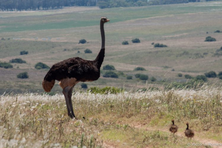 Father and chicks ostrich family