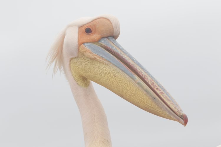 Pelican close up in Namibia