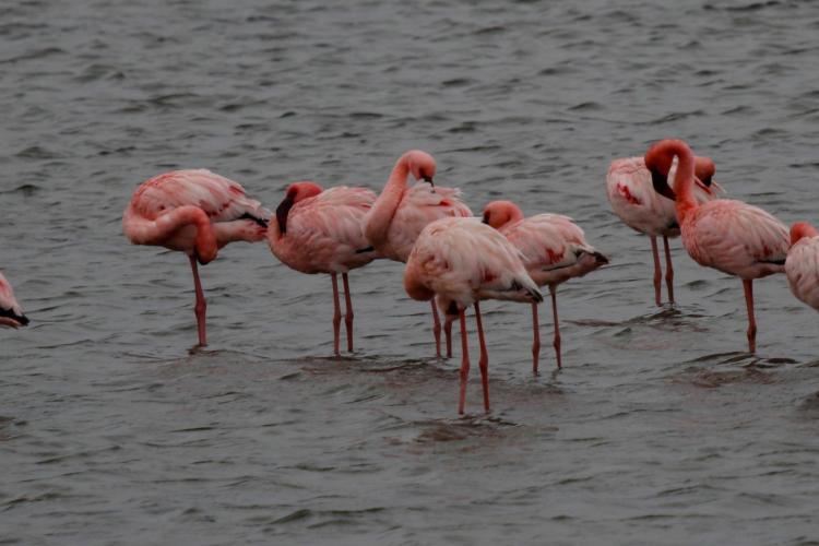 Pink flamingos in Namibia Walvis Bay lagoon