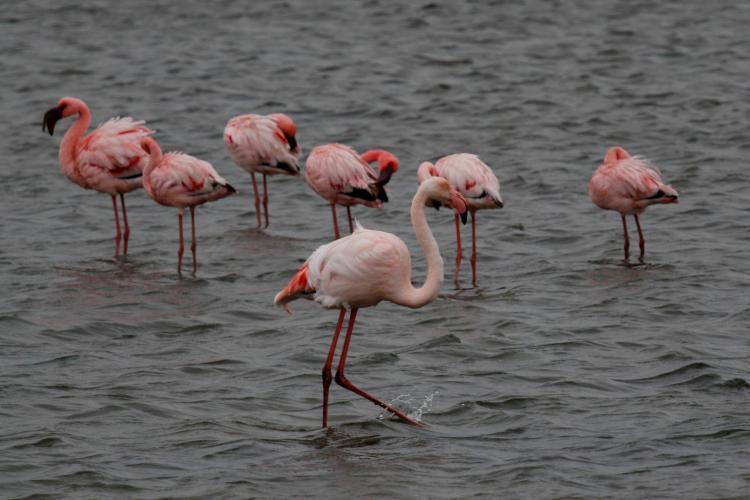 Pink flamingos feeding in Walvis Bay lagoon