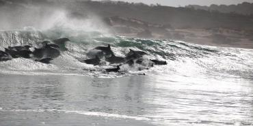 Dolphins surfing the waves in Cape Town