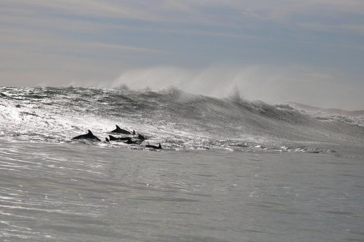 Pod of dolphins surfing the waves