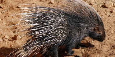 Volunteers look after porcupines at the Wildlife Sanctuary
