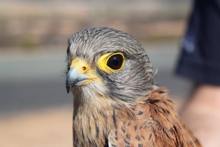 Bird of prey conservation in Nature's Valley