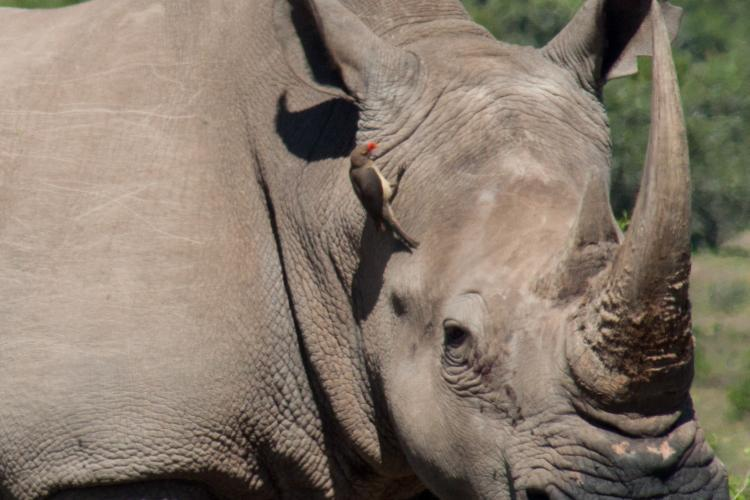 Close up of rhino male at Shamwari