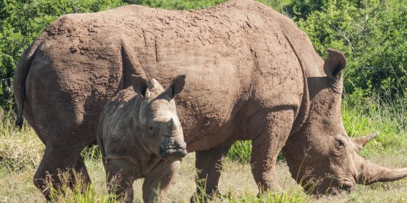 Volunteers doing rhino research and conservation