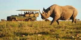 Rhino walks infront of view of jeep where volunteers are