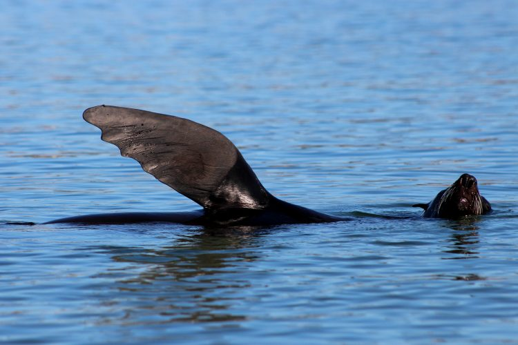 Seal flipper in Plettenberg Bay