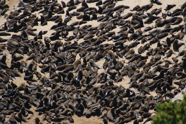Colony of sea lions in South Africa