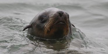 Swimming seal in Walvis Bay