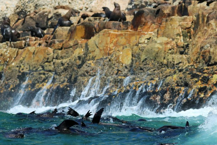 Seals jumping in the water in Plettenberg Bay