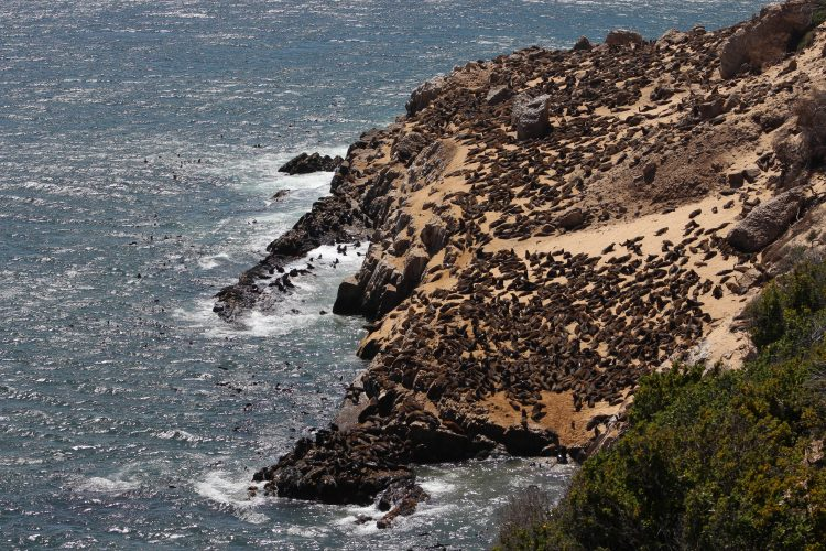 Sea lion colony in South Africa