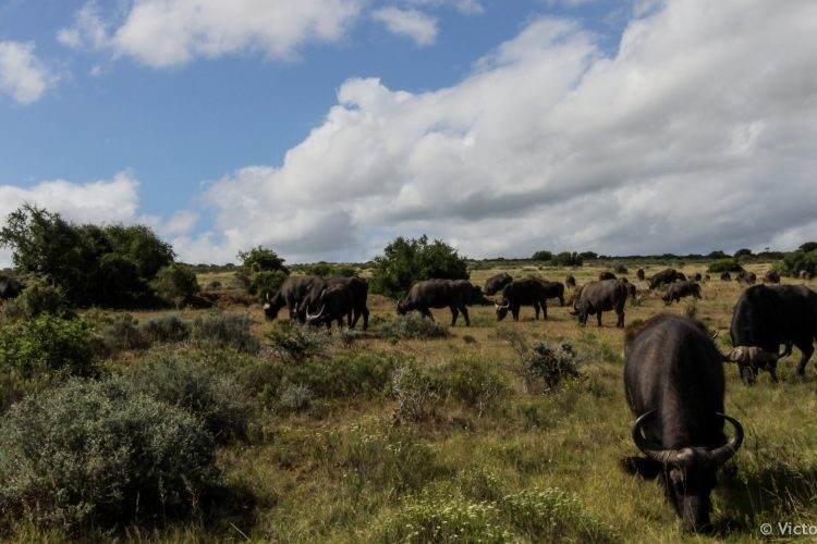 Herd of buffalos in the distance at Shamwari Game reserve