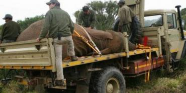 Volunteers assist with an elephant capture at Shamwari