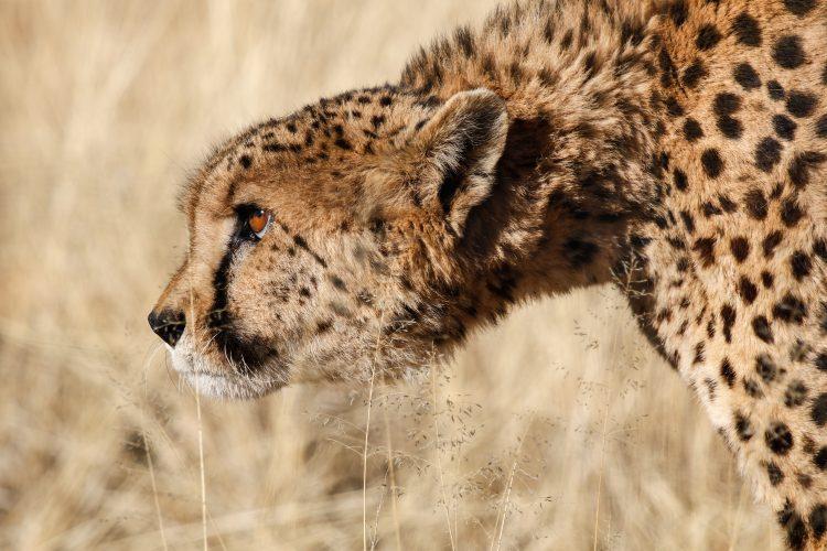 Stalking cheetah in the Namib desert