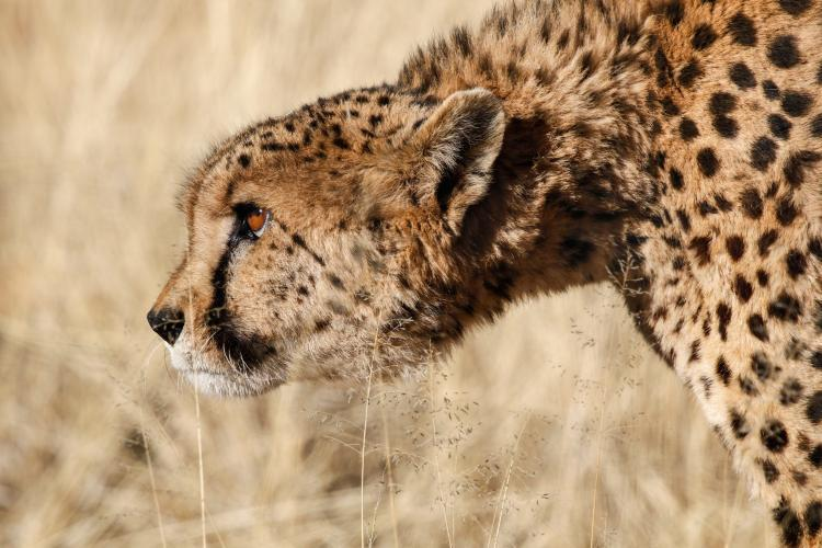 Stalking cheetah in the Namib desert
