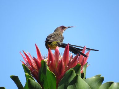 Sugarbird in South Africa
