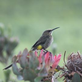 Sunbird in South Africa