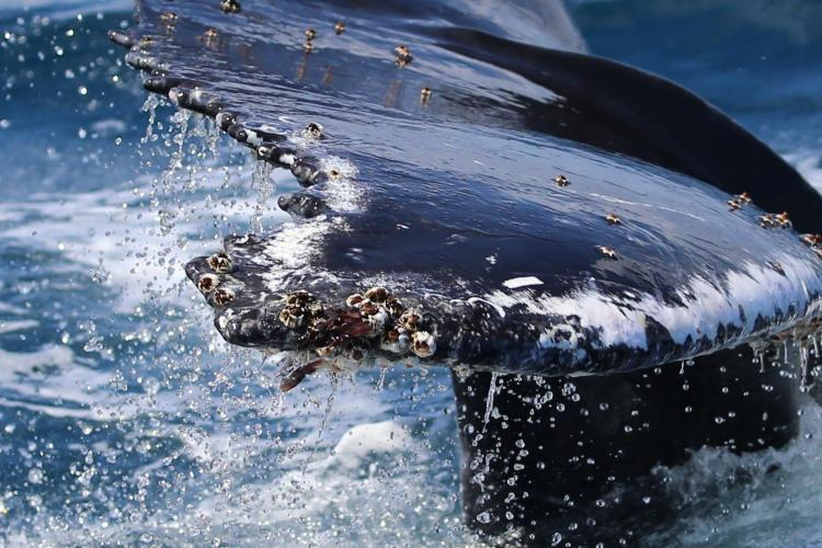 Humpback whale tail close up