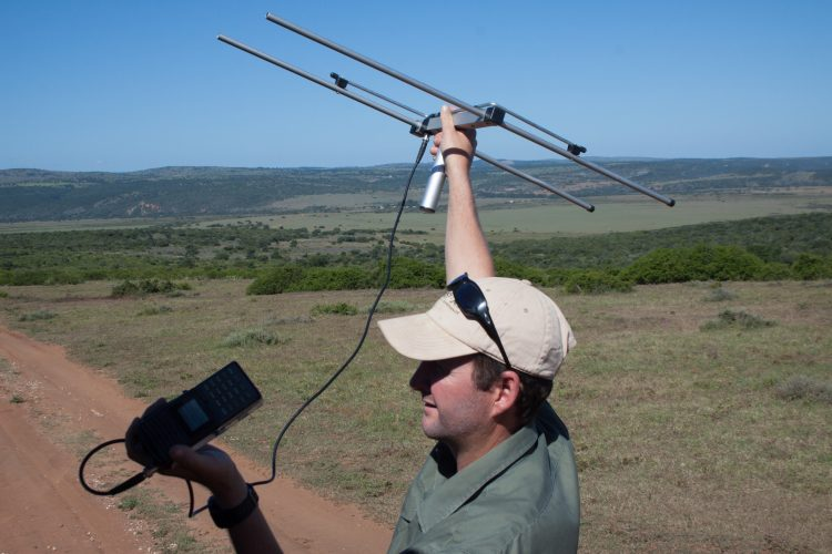 Volunteers track carnivores with telemetry tracking at Shamwari