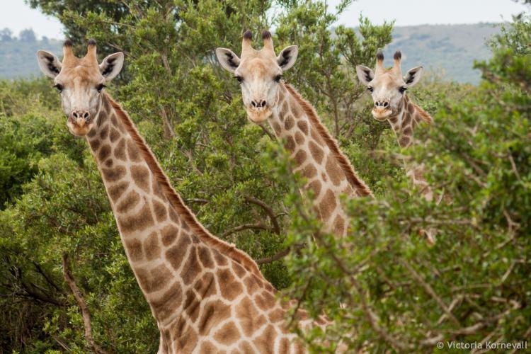 Three giraffes in a row looking at the volunteers