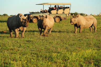 Three rhinos stand infront of volunteers in foreground