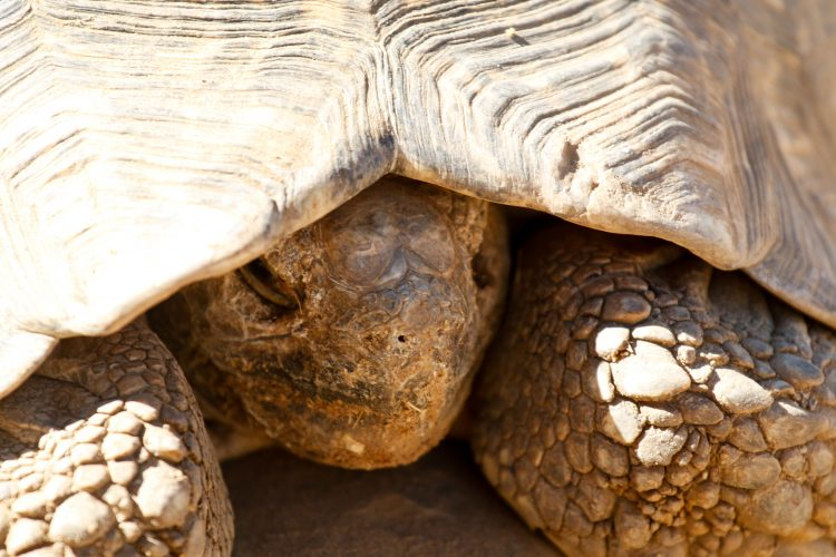 Giant tortoise at the Wildlife Sanctuary in Namibia