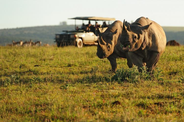Two rhinos stand infront of volunteers in foreground