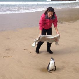 Catching penguin in South Africa