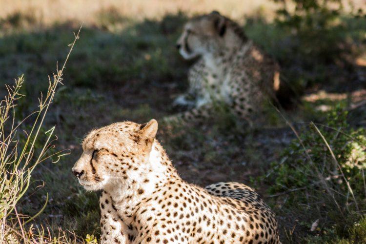 Volunteer and research cheetahs at Shamwari game reserve