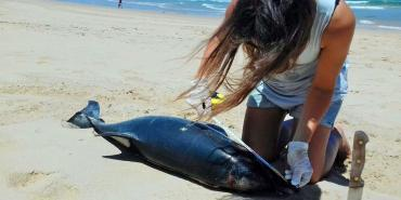 Volunteer researching dolphin carcass on Plettenberg Bay beach