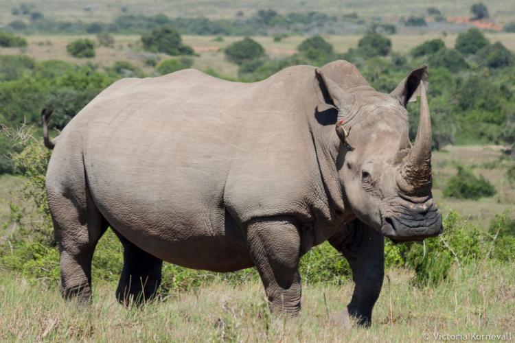 Rhino conservation at Shamwari game reserve