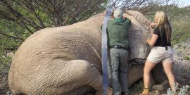 Elephant capture in Namibia