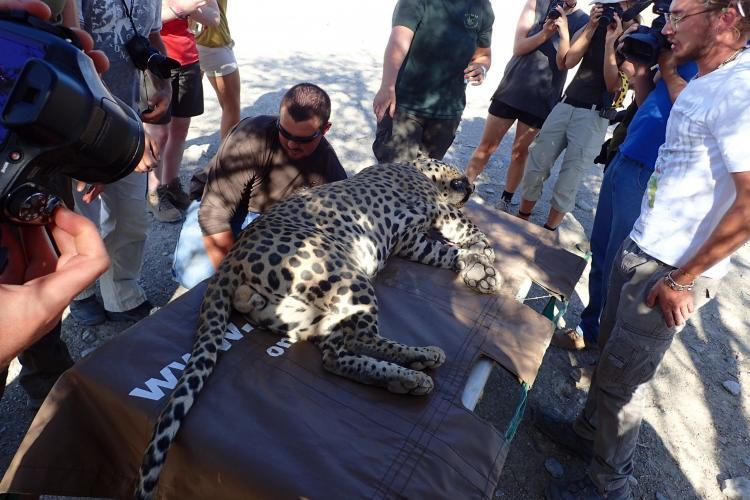 Volunteers involved in collaring a leopard on the Carnivore conservation programme