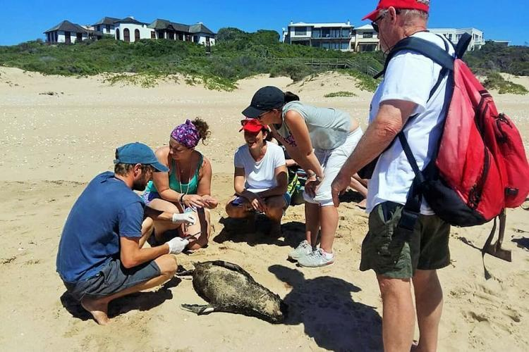 Volunteers and staff with seal pup carcass on Plett beach