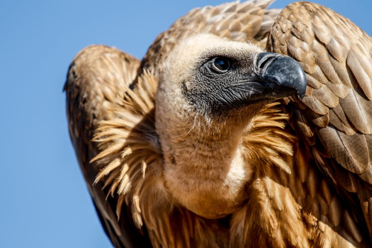 Vulture rescued at Wildlife Sanctuary in Namibia