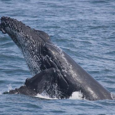 Humpback whale research in Cape Town