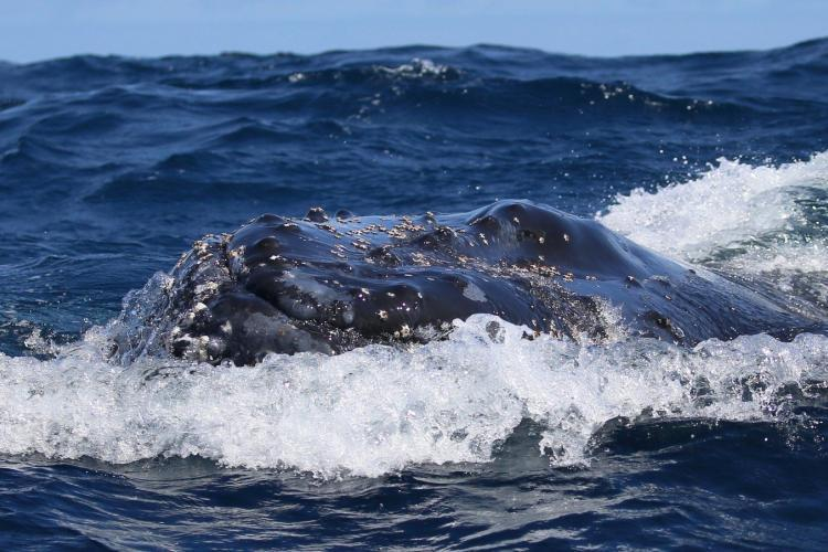 Humpback whale close up in South Africa