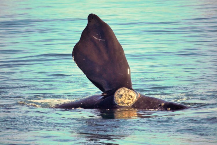 Whale sticking flipper out of water in Plettenberg Bay