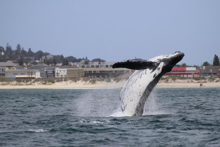 Breaching humpback whale in Cape Town